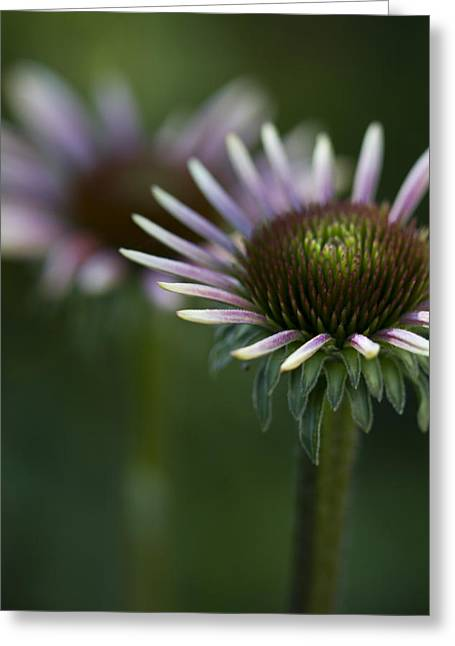 Cone Flowers Greeting Cards - Queen Greeting Card by Rebecca Cozart