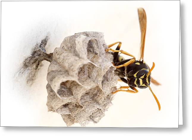 Queen Wasp On Her Nest Greeting Card by Paul Cowan