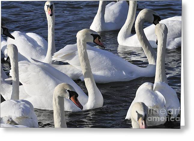 Rivers Greeting Cards - Queens Swans Greeting Card by Andy Smy