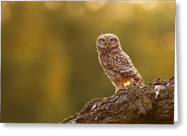 Baby Bird Greeting Cards - Qui, moi? Little Owlet in Warm Light Greeting Card by Roeselien Raimond