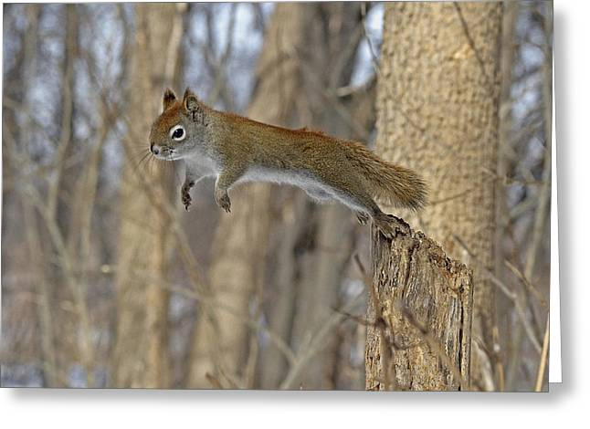 Flying Animal Greeting Cards - Quick as the Squirrel Greeting Card by Asbed Iskedjian
