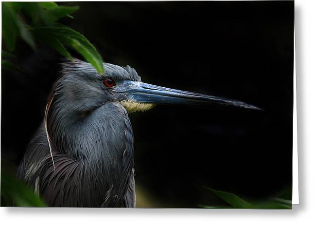 Louisiana Heron Greeting Cards - Quietly Alert Greeting Card by Skip Willits
