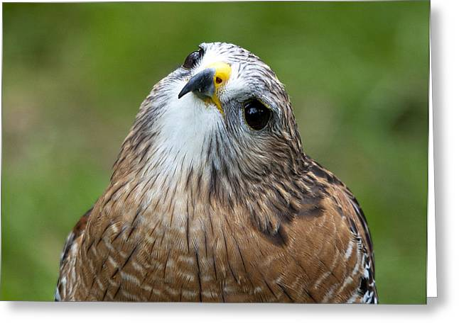 Red-shouldered Hawk Greeting Cards - Quizzical Greeting Card by Kenneth Albin