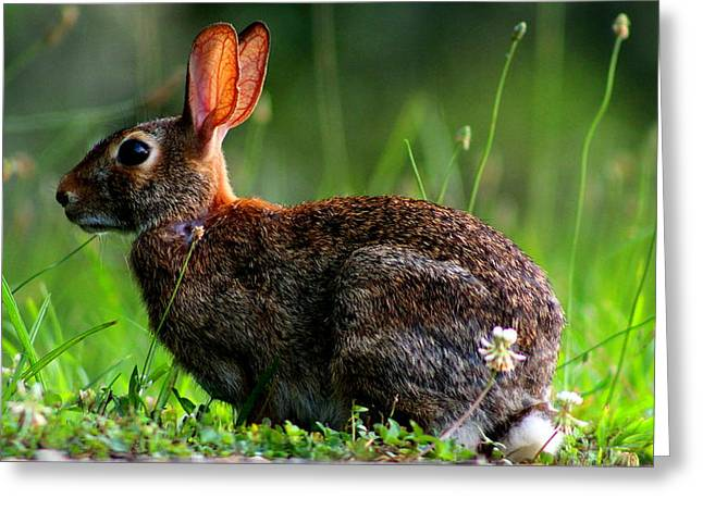 Rabbit In A Meadow Greeting Card by Jake Marvin
