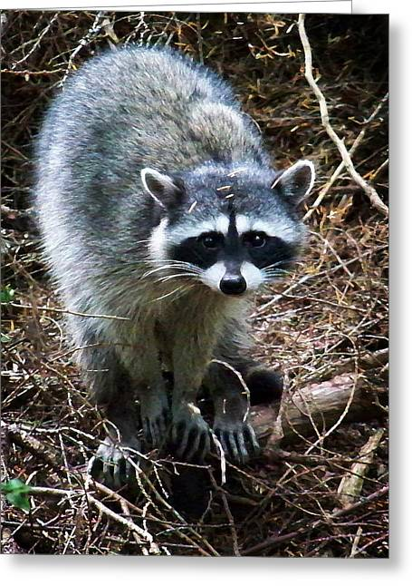 Raccoon Digital Art Greeting Cards - Raccoon  Greeting Card by Anthony Jones