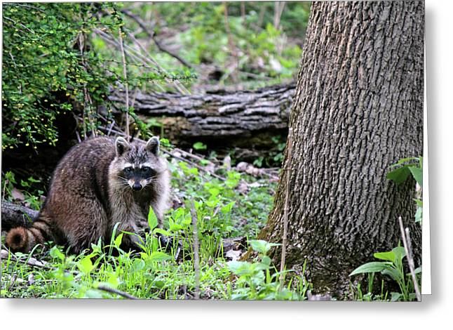 Raccoon Greeting Card by Codee Hart