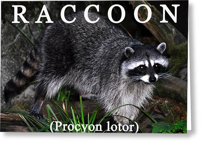 Wildlife  Poster Greeting Cards - Raccoon educational Greeting Card by David Lee Thompson