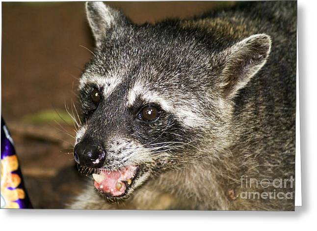 Growling Greeting Cards - Raccoon Procyon lotor foraging for food Greeting Card by Ruth Hofshi