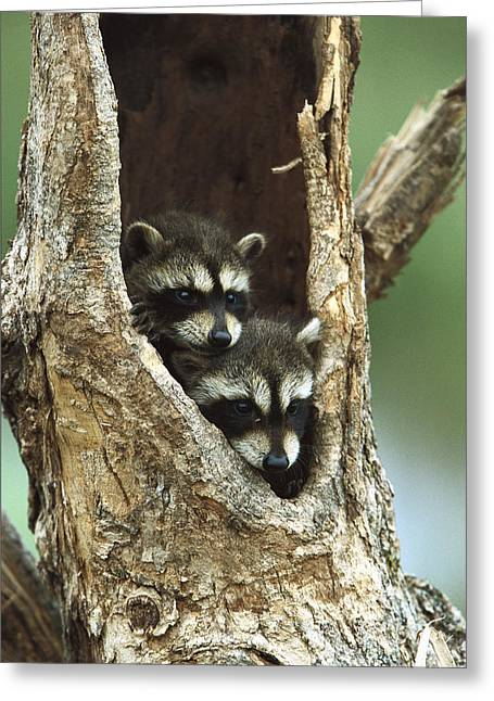 Cute Tree Images Greeting Cards - Raccoon Procyon Lotor Two Babies Greeting Card by Konrad Wothe