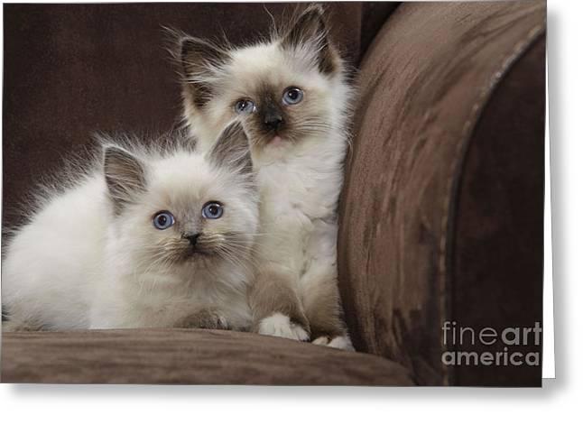 Ragdoll Kittens Greeting Card by Jean-Michel Labat