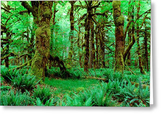 Moss-covered Greeting Cards - Rain Forest, Olympic National Park Greeting Card by Panoramic Images
