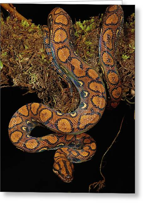 Forest Habitat Greeting Cards - Rainbow Boa Epicrates Cenchria Cenchria Greeting Card by Pete Oxford
