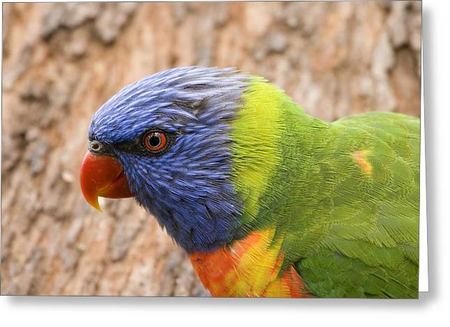 Rainbow Photographs Greeting Cards - Rainbow Lorikeet Greeting Card by Mike  Dawson