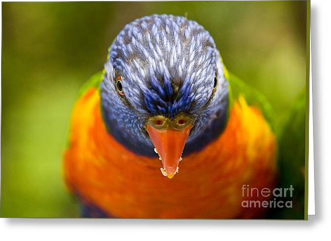 Rainbow Lorikeet Greeting Card by Avalon Fine Art Photography