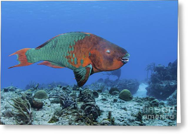 Undersea Photography Greeting Cards - Rainbow Parrotfish Swimming Greeting Card by Karen Doody