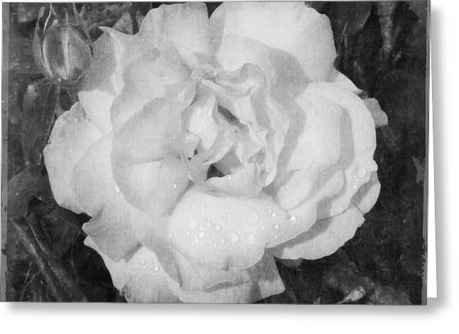 Rose Petals Greeting Cards - Raindrop Rose Greeting Card by Melissa  Reese Peterson