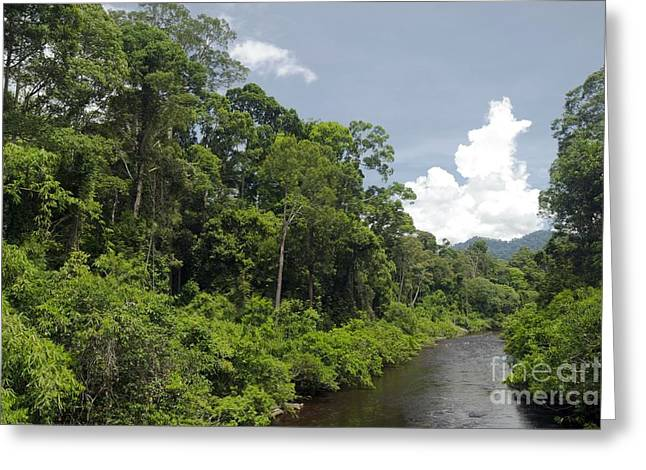 Nature Study Greeting Cards - Rainforest, Borneo Greeting Card by Louise Murray