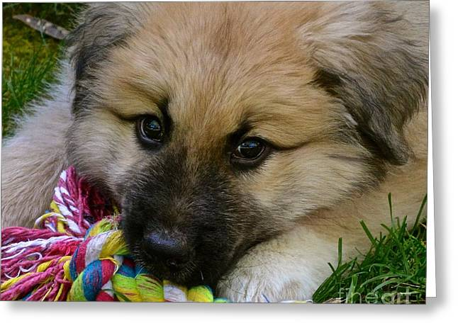 Working Dog Greeting Cards - Rainier Greeting Card by Lisa  Telquist