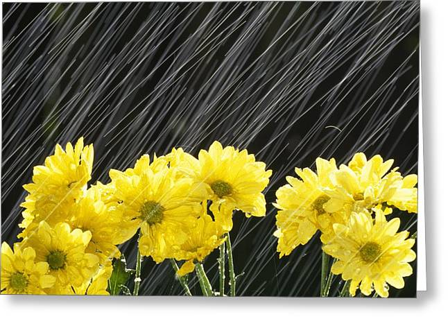 Tuttle Greeting Cards - Raining On Yellow Daisies Greeting Card by Natural Selection Craig Tuttle