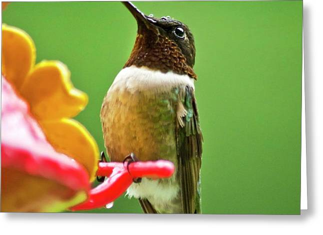 Rainy Day Hummingbird Greeting Card by Christina Rollo