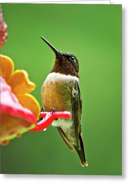 Archilochus Colubris Greeting Cards - Rainy Day Hummingbird Greeting Card by Christina Rollo