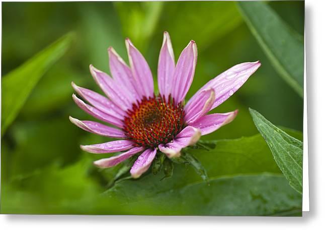 Pointy Petals Greeting Cards - Rainy Days and Mondays Greeting Card by Christi Kraft