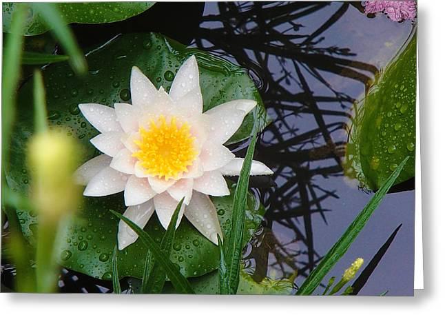 Lilly Pad Greeting Cards - Rainy Lily Greeting Card by Hikari Suk