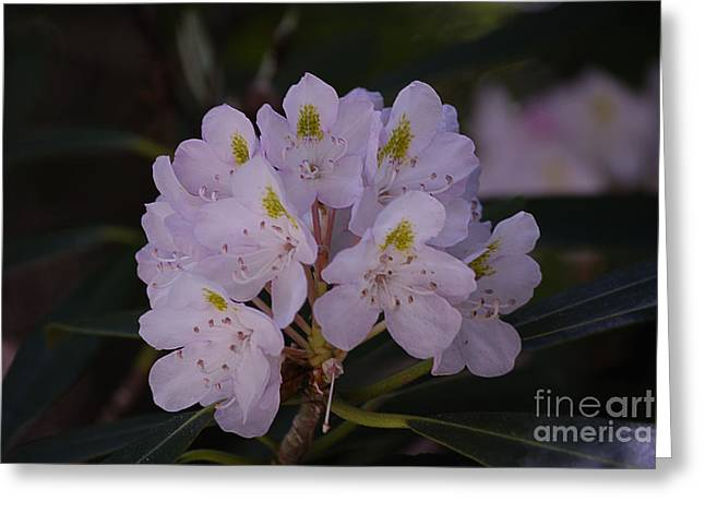High Virginia Images Greeting Cards - Randolph County Rhododendron Greeting Card by Randy Bodkins