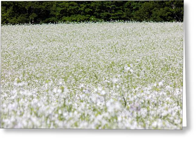Maine Farms Greeting Cards - Oilseed Radish Field Greeting Card by William Tasker