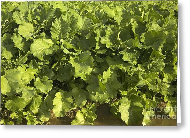 Broccoli Greeting Cards - Rapini Crop Greeting Card by Inga Spence
