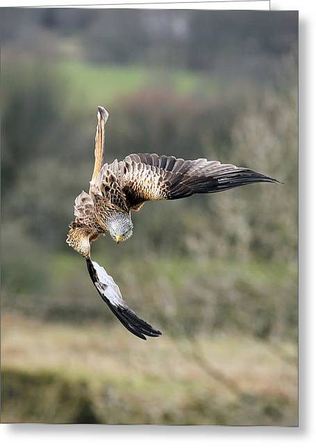 Kites Greeting Cards - Raptor diving for prey Greeting Card by Grant Glendinning