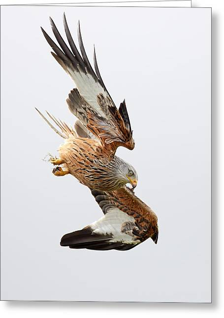 Red Kite Greeting Cards - Raptor Diving Greeting Card by Grant Glendinning