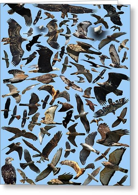 Photos With Red Greeting Cards - Raptor Roundup Greeting Card by ML Lombard