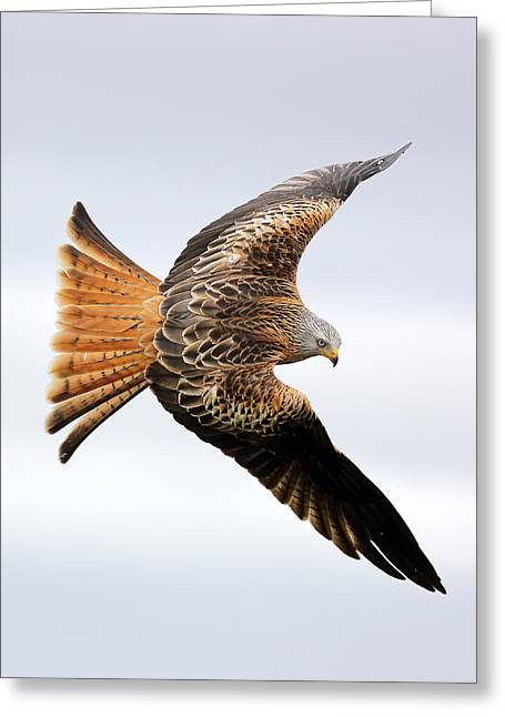 Raptor In Flight Greeting Cards - Raptor soaring Greeting Card by Grant Glendinning