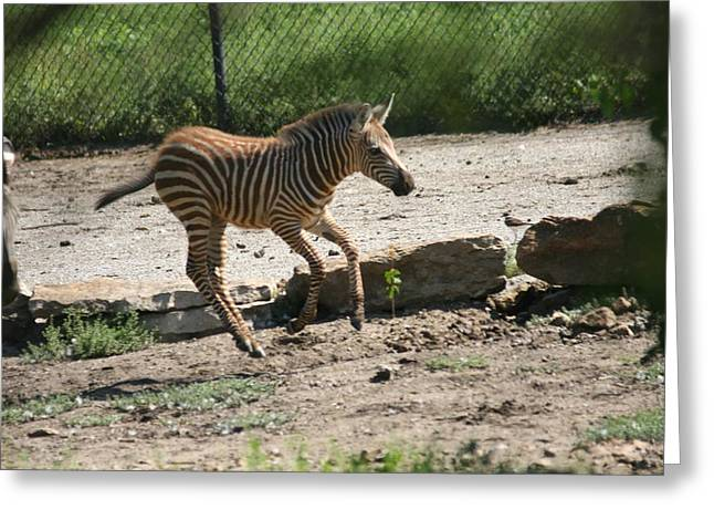 Zebra Colt Greeting Cards - Rare Brown Baby Zebra 3 - I Go And Find Mama Greeting Card by David Dunham