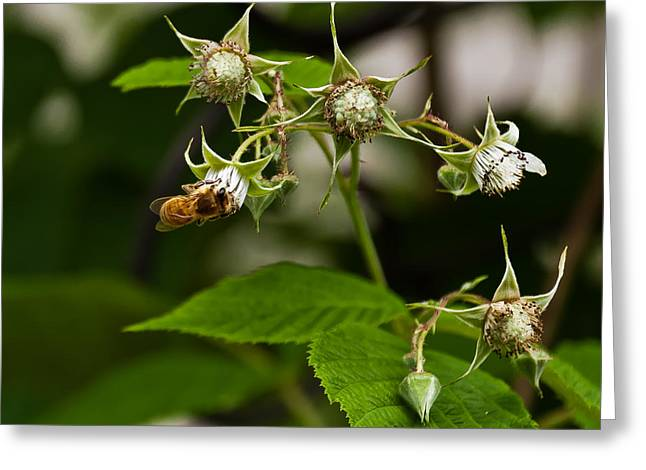 Artist Photographs Greeting Cards - Rasberry plant with Honey Bee Greeting Card by Beth Wolff