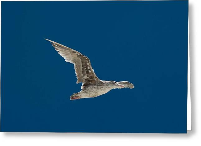 Flying Seagull Greeting Cards - Rats with Wings Greeting Card by Caleb McElhaney