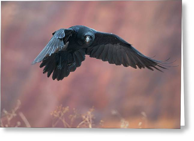 Flying Animal Greeting Cards - Raven flying with red rocks in background Greeting Card by Sergey Ryzhkov