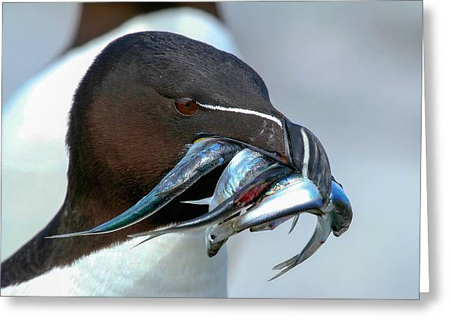 Razorbill Greeting Cards - Razorbill  Greeting Card by Mary Johnston