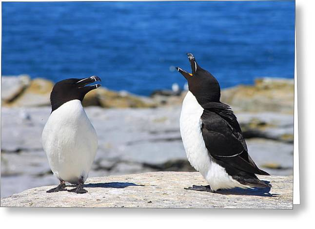 Razorbills Calling On Island Greeting Card by John Burk