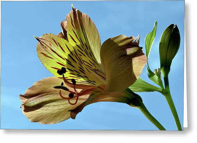 Peruvian Lily Greeting Cards - Reach To The Sky. Greeting Card by Terence Davis