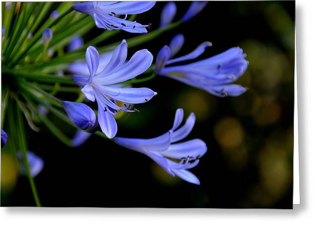 Nile Lily Greeting Cards - Reaching Greeting Card by Lyle  Huisken