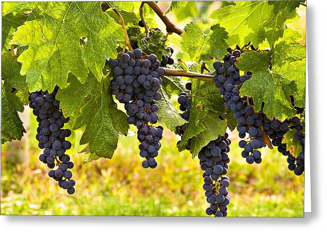 Blue Grapes Greeting Cards - Ready for Harvest Greeting Card by Marion McCristall