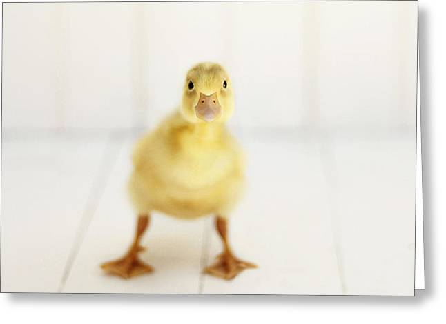 Duck Greeting Cards - Ready to Rumble - Square Version Greeting Card by Amy Tyler
