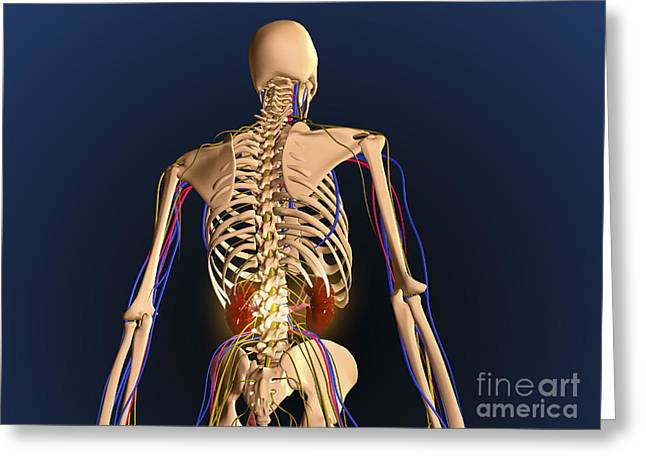 Interchondral Ribs Greeting Cards - Rear View Of Human Skeleton Showing Greeting Card by Stocktrek Images