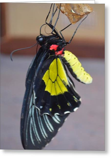 Cocoon Greeting Cards - Rebirth Greeting Card by Jade Damboise Rail