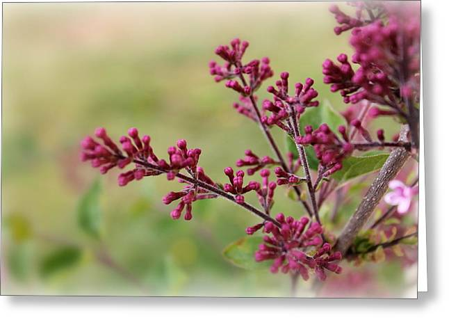 Reblooming Lilac Buds Greeting Card by Francie Davis