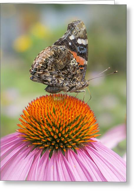 Nectar Greeting Cards - Red Admiral butterfly on coneflower Greeting Card by Jim Hughes