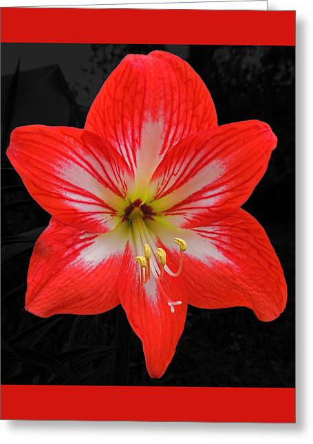 Red Amaryllis Greeting Card by Marian Bell