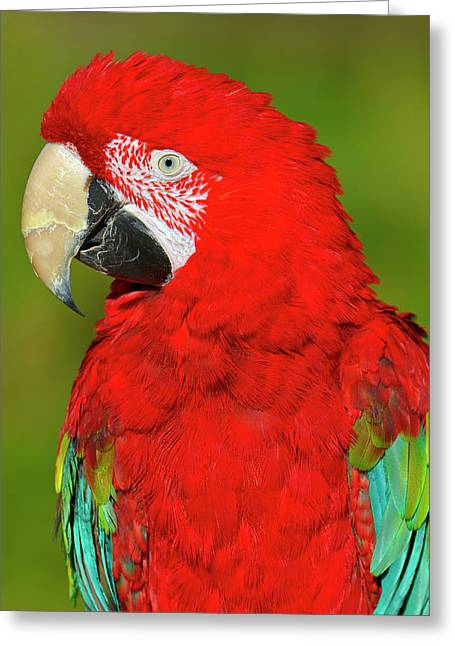 Red And Green Greeting Card by Tony Beck